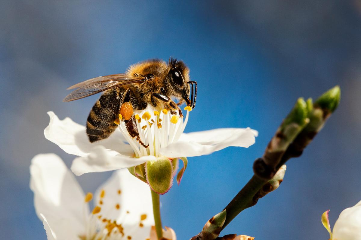 Heimat, Biene, Blüte